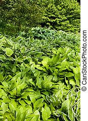 hostas - garden with different varieties of hostas