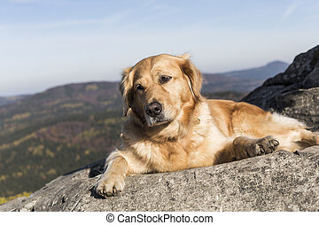 The golden retriever rest in the rock