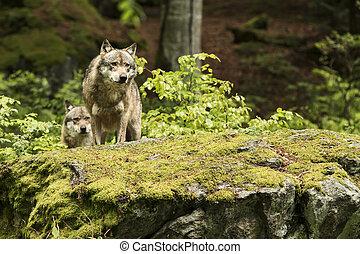 European wolf, Europaeischer Wolf, Canis lupus, wolf, CZECH...