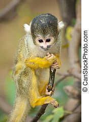 Yellow and black Marmoset monkey on a branch
