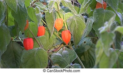 Frozen decorative cape gooseberries grow in autumn garden....