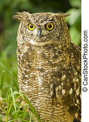 Brown owl looking straight at camera, with a green...