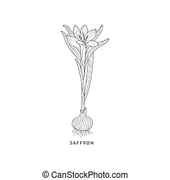 Saffron Hand Drawn Realistic Sketch - Saffron Medical Herb...
