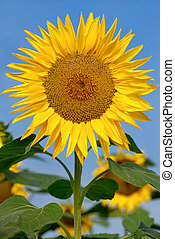 Beautiful large sunflower - Fully blossomed sunflower in...