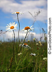 Camomiles flowers in green field grass
