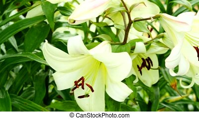 White Lily close-up - 4K UltraHD video of white lily...