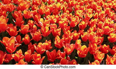 field of  red  tulips blooming