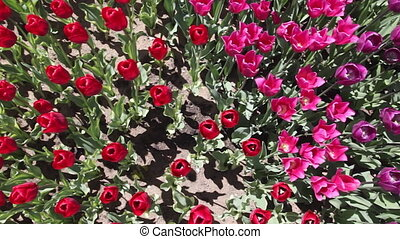 field of red and pink  tulips blooming
