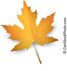 Maple Leaf with raindrops on a white background. Autumn red maple leaf, a symbol of