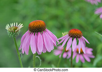 Two flowers of Echinacea Purpurea - Two flowers of medicinal...