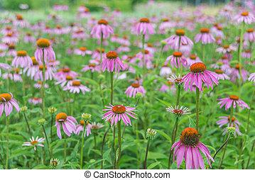 Large plantation of Echinacea Purpurea - Large plantation of...