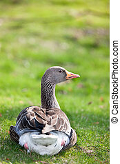 Wild goose resting on grass - Wild goose resting on the...