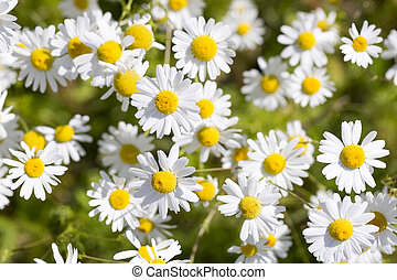 Ox-eye Daisy Flowers - Plenty of Ox-eye Daisy Flowers.