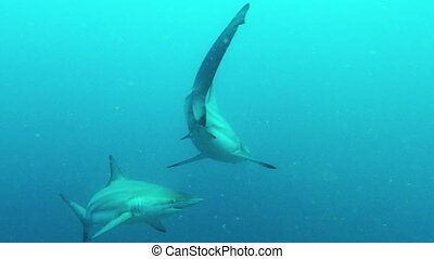 Baited dive with Blacktip Sharks