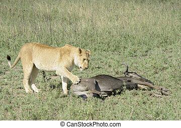 Lion Panthera leo - Lioness Panthera leo standing next to a...