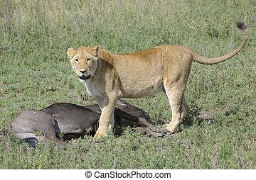 Lion (Panthera leo) - Lioness (Panthera leo) standing next...