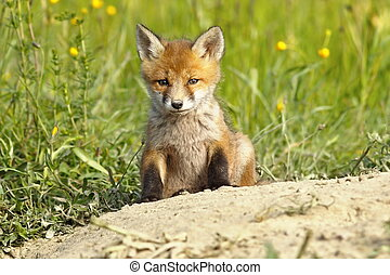 cute fox puppy - cute european red fox puppy near the den (...