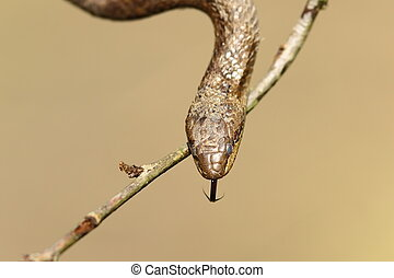 portrait of smooth snake ( Coronella austriaca )