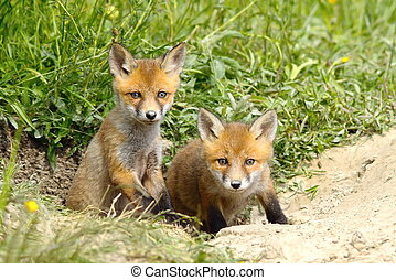 two fox cubs at the entrance of the den - two european red...
