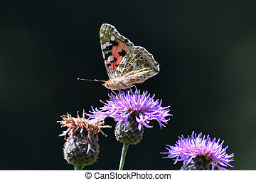 Painted lady (Vanessa cardui) butterfly sitting on creeping...