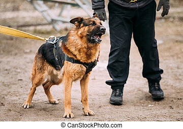 Barking Angry German Shepherd Alsatian Wolf Dog On Training