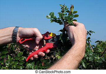 Pruning the bushes - A mans hands holding secateurs and...