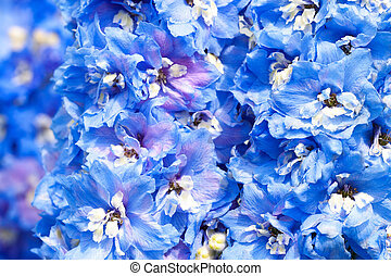 blue flowers of a delphinium
