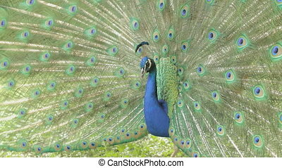 Peacock dismissed his luxurious tail is extraordinarily...
