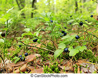 bilberry in the forest - bushes of ripe bilberry in the...