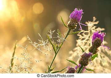estate, fioritura, prato, alba
