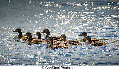 Wild ducks on the lake - Family of wild ducks swimming on a...