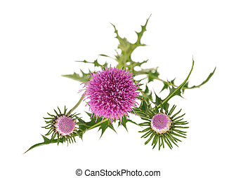 milk thistle flowers - thistles flowers isolated on white...