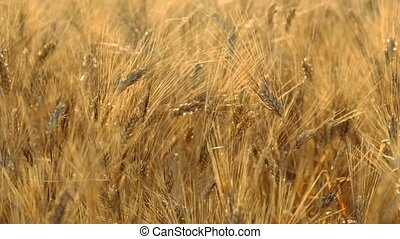Mature wheat swaying in the wind