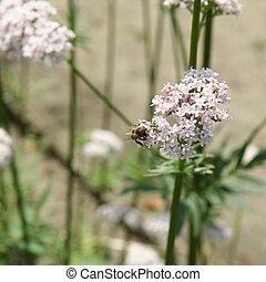 Bee and valerian