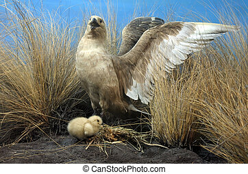 Short-tailed albatross mother and chick Once common, it was...
