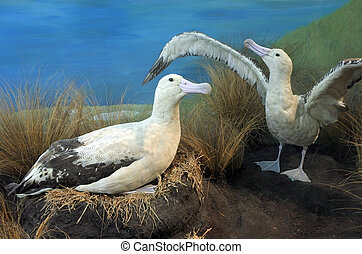 Short-tailed albatross couple Once common, it was brought to...