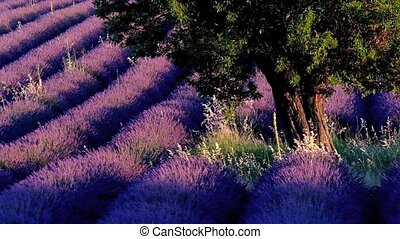 Lavender field in plateau Valensole - Lavender field at...