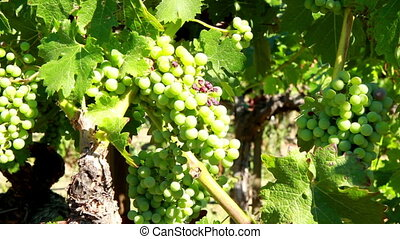 Green wine grapes in the sun