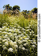 plant wild carrot in a field surrounded by trees, note...