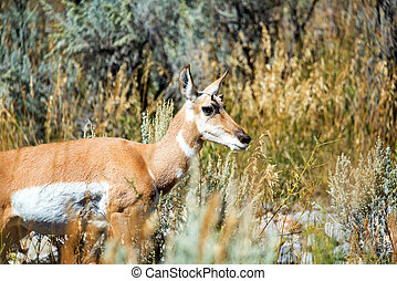 Pronghorn Antelope Closeup - Closeup view of a Pronghorn...