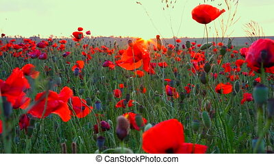 sunset in poppy field locked down, HD1080 - 30p