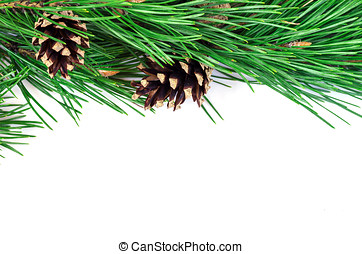 Pine branches with cones on a white background