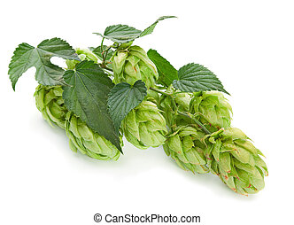 Green hop plant isolated on white