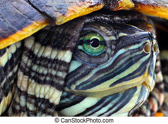 Head red-eared slider closeup view