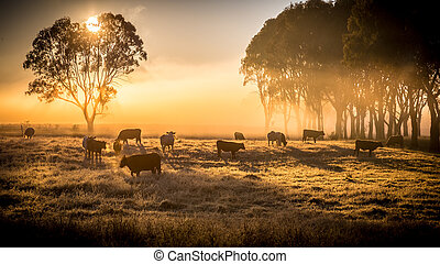 cattle in the morning - a herd of cattle in pasture,...