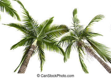 Palm tree on white - Green palm tree on white background