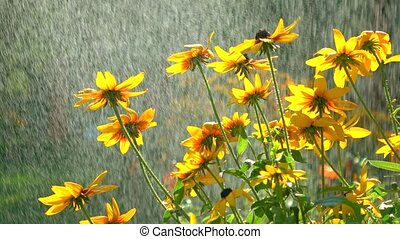 Yellow coneflowers and falling drops of water. 4K video -...