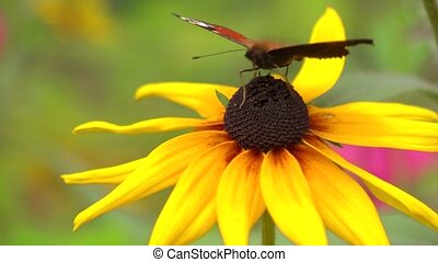 Peacock butterfly crawling on yellow coneflower and flying away. 4K close up video