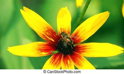 Honeybee crawling on yellow coneflower and flying away. 4K...