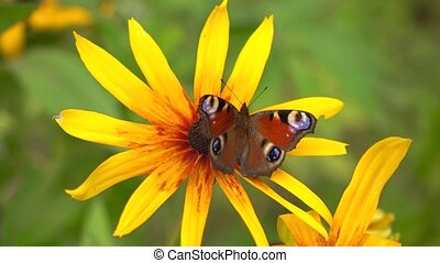 Peacock butterfly on yellow rudbeckia flower. 4K close up video